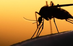 Nghiên cứu muỗi biến đổi gene chống sốt rét