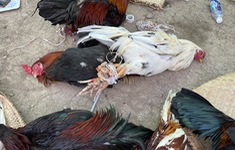 Triệt phá trường gà ăn tiền, bắt giữ 54 con bạc, 12 con gà đá