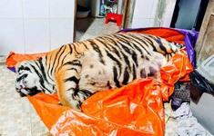 Khởi tố đối tượng mua hổ nặng 250 kg về để nấu cao