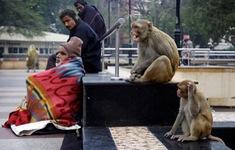 Nỗi lo khỉ hoang thường xuyên tấn công con người