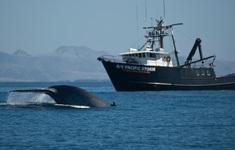 Thiết bị cảnh báo tránh cá voi va chạm tàu biển