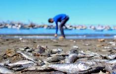 """Tảo """"sát thủ"""" khiến hơn 4.200 tấn cá hồi chết tại Chile"""