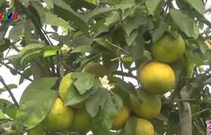 Nghệ An: Hệ lụy do phát triển ồ ạt cây có múi