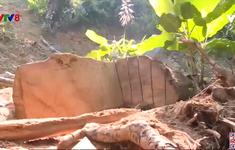Thừa Thiên - Huế tái diễn nạn khai thác gỗ rừng trái phép
