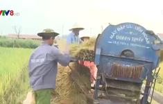 Nông dân khẩn trương thu hoạch lúa đông xuân