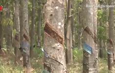 """Gia Lai: Hàng trăm héc ta cao su """"vô chủ"""" trên đất rừng"""