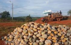 Hàng trăm tấn bí đỏ phải chặt bỏ cho bò ăn