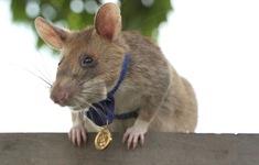 Campuchia huấn luyện lứa chuột mới rà phá bom mìn