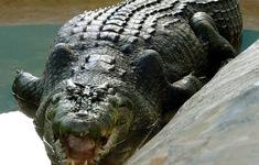 """Cá sấu tiền sử """"khủng"""" dài tới 7 m từng sống tại Australia"""