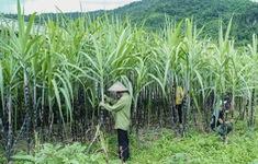 Áp thuế đường Thái, mía đường trong nước hưởng lợi gì?