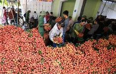 100 tấn vải thiều Việt Nam sắp xuất khẩu sang Australia