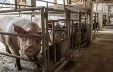 Trung Quốc đối mặt với khủng hoảng thừa thịt lợn