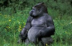 Lần đầu tiên quan sát thấy tinh tinh tấn công và hạ gục khỉ đột