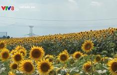Cách đồng hoa hướng dương gần nhà máy hạt nhân Fukushima Daiichi