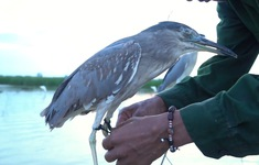 Về đâu những cánh chim trời: Chim hoang dã bị săn như thế nào?