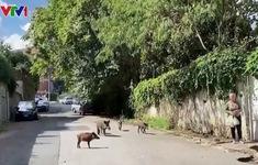 Lợn rừng giữa phố Rome khiến người dân sợ hãi