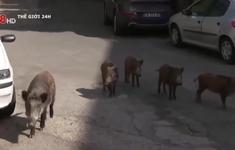 Italia: Lợn rừng tràn xuống phố Roma khiến người dân bức xúc
