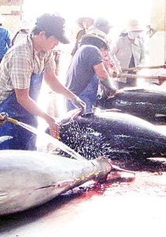 Đẩy mạnh sản xuất cá ngừ theo chuỗi giá trị