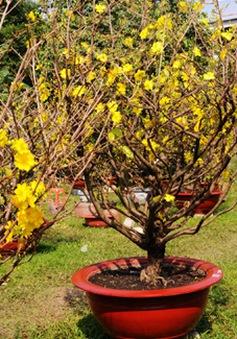 TP.HCM: Nhiều vườn mai nở sớm
