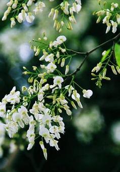 Vẻ đẹp tinh khiết của hoa sưa Hà Nội