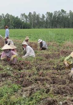 Vĩnh Long: Khoai lang rớt giá, nông dân lỗ hàng tỷ đồng