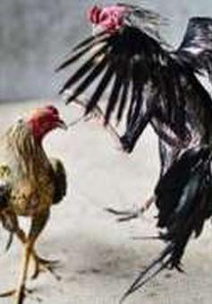 Đấu súng trong cuộc chọi gà tại Mexico, 12 người thiệt mạng