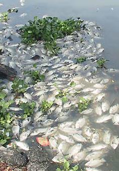 Thừa Thiên - Huế: Cá nuôi chết hàng loạt vì tắc trách?