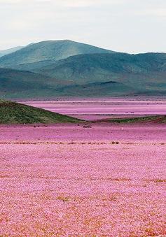 Sững người trước vẻ đẹp của cánh đồng hoa nở trên sa mạc khô cằn nhất thế giới