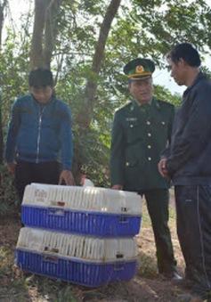 Quảng Trị: Bắt gần một tấn gà nhập lậu qua biên giới