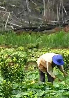 Kon Tum: Người dân thoát nghèo nhờ trái bí đỏ