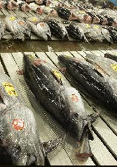 Seychelles nỗ lực phát triển ngành công nghiệp đóng hộp cá ngừ