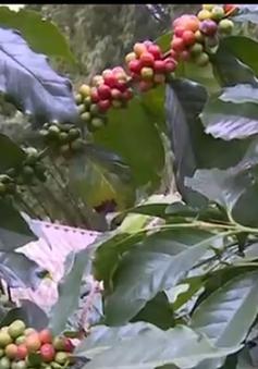 Cà phê mất giá, nông dân Sơn La đứng trước nguy cơ thua lỗ