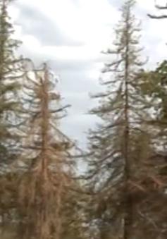 Mỹ: Đốn hạ hàng nghìn cây ở Los Angeles để chống hạn hán