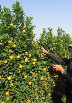 Hưng Yên: Quất cảnh được mùa, tăng giá