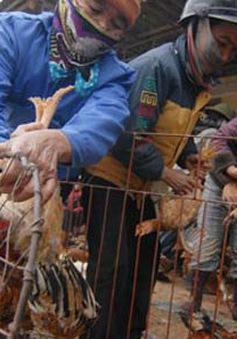 Bắc Ninh: Thu giữ 3,5 tấn gà thải loại không rõ nguồn gốc