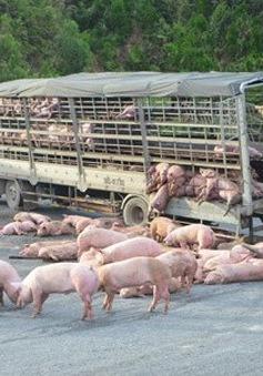 """Trung Quốc: Nổ lốp xe tải, 400 con lợn """"thoát thân"""""""