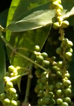 Quảng Trị: Hồ tiêu được mùa, được giá
