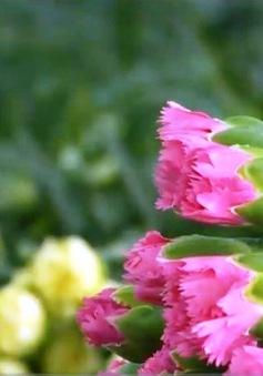 Đẩy mạnh xuất khẩu rau, hoa vào Nhật Bản: Cần thay đổi từ khâu sản xuất