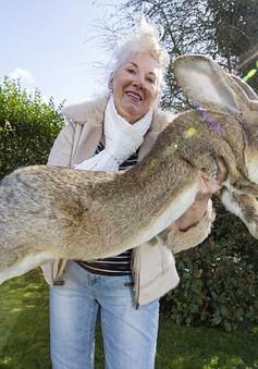 Thỏ khổng lồ to như chó Béc-giê xuất hiện tại Anh