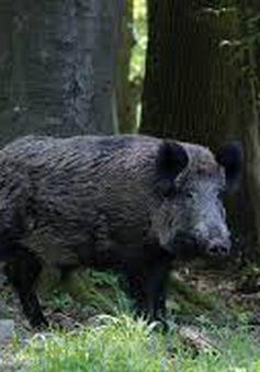 Nông dân Mỹ khốn khổ vì... lợn rừng phá hoại mùa màng