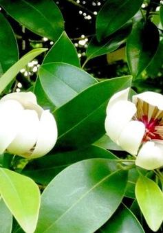 Cây Vàng tâm - Loại cây sắp được trồng ở con đường đẹp nhất Việt Nam