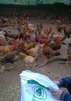 Nông dân Hà Nội có nguy cơ đổ nợ ngân hàng vì nuôi gà thua lỗ