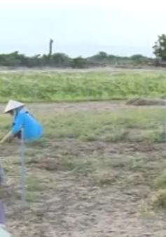 Ống tưới tiết kiệm nước: Giải pháp chống hạn ở Ninh Thuận