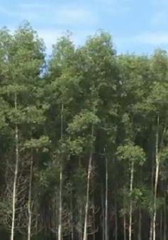 Đánh thuế gỗ rừng trồng lên 5% - Nỗi lo của người trồng rừng