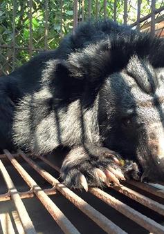 8 cá thể gấu bị nuôi nhốt cuối cùng tại Quảng Ninh được chuyển đến Tam Đảo
