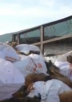 Bà Rịa - Vũng Tàu: Tiêu hủy hơn 40.000 con gà bị nhiễm cúm H5N1