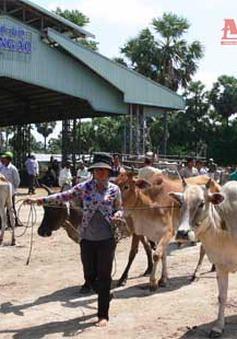 An Giang: Khó kiểm soát tình trạng nhập trâu bò qua biên giới