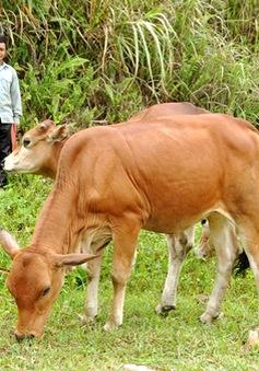 Vũng Tàu: Báo động tình trạng mất trộm bò của người dân