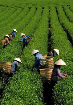 Lâm Đồng: Hàng trăm hộ trồng chè rơi vào cảnh bế tắc