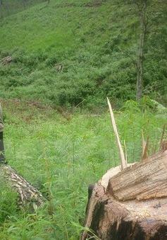 """Lâm Đồng: """"Bức tử"""" gần 100 cây thông trong Khu nông nghiệp công nghệ cao"""